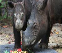 وفاة «إيمان» آخر وحيد قرن في ماليزيا