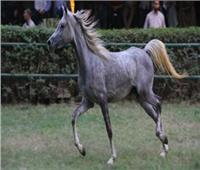 بلغ سعرها 819 ألف جنيه| تعرف على «دولامة» أغلى حصان في مزاد «الزراعة»