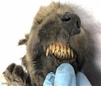 أقدم «كلب محنط» في العالم عمره 18 ألف سنة