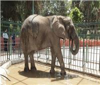 فيديو|  بعد وفاة الفيلة «نعيمة» تعرف على الوافدين الجدد بحديقة الحيوان