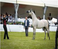 """انطلاق فعاليات بطولة """"الجواد"""" لجمال الخيول العربية"""
