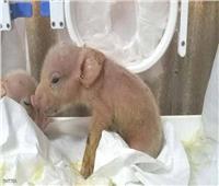 الصين تهجن أول «قرد خنزير» في العالم