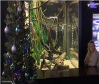 لأول مرة.. «دبابيس» ثعبان البحر لإضاءة «شجر الكريسماس»| فيديو