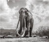 الصورة الأخيرة لملكة أفيال كينيا قبل وفاتها