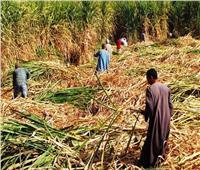 مزارعو الصعيد يجددون مطالبهم برفع سعر طن القصب لـ1000 جنيه