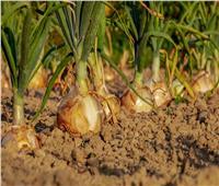 «الزراعة» تكشف حقيقة تراجع صادرات محصول البصل المصري