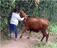 قرار جديد بشأن لص «مواشي» طلب فدية مقابل «جاموسة» في القليوبية