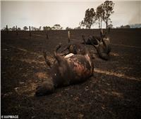 صور  حرائق استراليا تهدد بكارثة بيولوجية