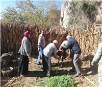 المنوفية: تحصين 367 ألف و336 راس ماشية ضد مرض الحمي القلاعية