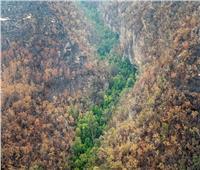صور وفيديو  مهمة سرية لإنقاذ أشجار تعود لعصور ما قبل التاريخ في استراليا