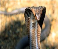 ثعبان «الكوبرا» المتهم الأول في انتشار «كورونا»
