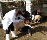 «الزراعة»: تحصين586 ألف رأس ماشية ضد الجلد العقدي وجدري الأغنام خلال 10 أيام