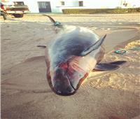 خجول وعمره 20 عامًا.. 10 معلومات عن«الحوت القاتل» بسواحلالغردقة