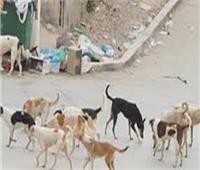 بيطري المنيا ينفذ حملة للقضاء على الكلاب الضالة بملوي