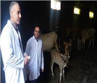 تحصين 101 ألف و296 من الأبقار والأغنام ضد إلتهاب الجلد العقدي بالمنوفية