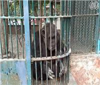 فيديو| «القرد كوكو» يتبع إجراءات الوقاية من «كورونا» بحديقة الحيوان