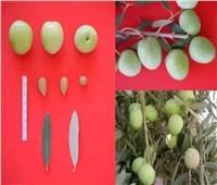 «الزراعة» تطلق تطبيق على التليفون المحمول للإدارة المتكاملة للزيتون