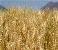 «الزراعة»: إقامة مراكز تجميع قريبة من المزارعين لتسهيل توريد القمح