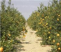كيف تتعامل مع أشجار الموالح خلال مايو؟ «الزراعة» تجيب