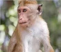 مجموعة من القرود تهاجم مختبرا وتسرق عينات لفيروس كورونا