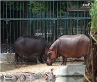 فيديو| حديقة الحيوان: استغلال فترة الحظر في تأهيل الحيوانات للتزاوج
