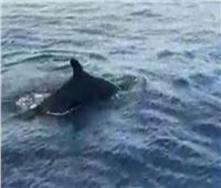 فيديو| ظهور سرب من الحوت القاتل الكاذب بمنطقه الجونه شمال الغردقة