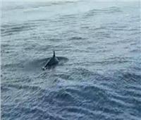 بالفيديو| «البيئة» ترصد ظهور مجموعة من «الدرافيل» النادرة بمياه البحر الأحمر