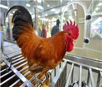 فوائد الدجاج البلدي.. ضبط الهرمونات والفيتامينات