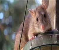 بسبب كورونا وغلق المطاعم.. الفئران تهاجم منازل بريطانيا