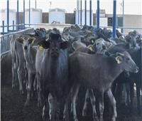 الزراعة توافق على تمويل جديد لمشروع البتلو بـ 306 ملايين جنيه لصغار المربين والمزارعين
