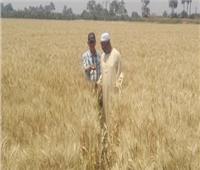 حقيقة تقليص رقعة الأراضي المزروعة بالقمح