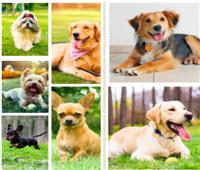 تعرف على أشهر سلالات الكلاب لدى العائلة الأمريكية خاصة بعد جائحة الكورونا