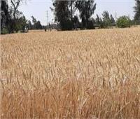 انتهاء موسم توريد القمح بالغربية بـ134 ألفًا و 237 طنًا