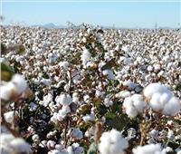 «الزراعة» تصدر توصياتها لمحصول القطن والتي يجب مراعاتها خلال أغسطس