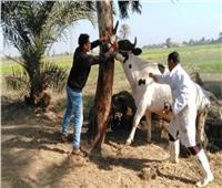تحصين ٥٨ ألف رأس ماشية بالشرقية ضد الحمي القلاعية والوادي المتصدع