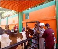 الزراعة: تنفيذ 6 قوافل بيطرية لتشجيع التلقيح الاصطناعي بمحافظة المنيا