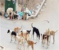 «البيطريين» تكشف طرق انتقال «السعار» وكيفية مواجهة ظاهرة الكلاب الضالة
