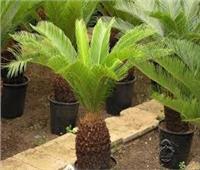 تؤدي للفشل الكبدي| «سموم الإسكندرية» يحذر من بذور نبات «السيكاس»