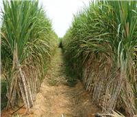 5 نصائح للمزارعين للتعامل مع محصول «قصب السكر»