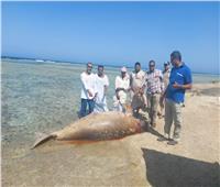 «البيئة» تكشف سبب وفاة عروس البحر.. وتؤكد: توثيق دفنه بمنطقة آمنة