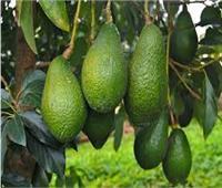 الذهب الأخضر... كيف تنمو فاكهة الأفوكادو في البرتغال؟