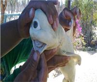 نادرة.. اصطياد سمكة قرش بـ«عين المسيخ الدجال»