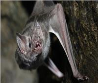 الخفافيش تتفوق على البشر في العزل الصحي