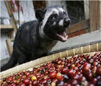 صور   من براز الحيوان.. القهوة الأغلى في العالم