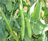 «أبو صدام» يوضح أسباب إقبال المزراعين على زراعة الفول