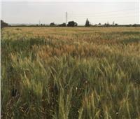 استعداد مبكر لزراعة القمح في شمال سيناء