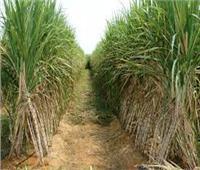 8 نصائح من «الزراعة» للحفاظ على محصول القصب