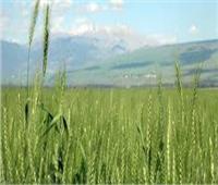 «الزراعة» تصدر روشتة لزيادة إنتاجية القمح