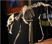 للبيع.. هيكل عظمي لنمر يبلغ من العمر 40 مليون عام