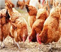 أسعار الدواجن في الأسواق اليوم.. والدجاج البلدي ٢٨ إلى ٤٥ جنيهًا للكليو
